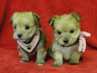 I have registered Yorkie puppies That need a home. Due