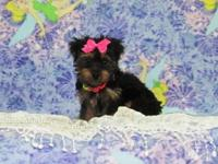I have 3 Beautiful little Yorkie Puppies that are ready