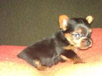 I HAVE 2 FEMALE YORKIE PUPPYS LEFT, BORN AUG. 6TH. THEY