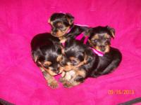 ADORABLE PUREBRED YORKIE PUPPIES!! I have four sweet