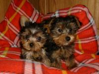 Very cute little puppies now have 1 boy and 1 girl,