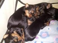 I have 3 female and 1 male yorkies. Born on 11/07/2013