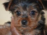 7 week Yorkie puppies - $800 and up. Puppies are all