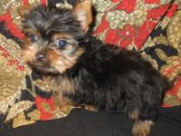 Gorgeous, purebred, registered Yorkie Puppies