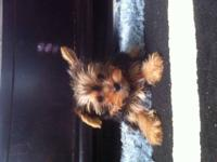 Very cute yorkie puppies.males and females tails