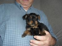 I have two very small Yorkie puppies( NOT