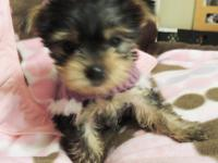 YORKIE PUPPIES AVAILABLE IN THE FLORIDA PANHANDLE