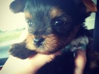 We have 5 male Yorkie young puppies. They've had their