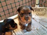 We have a clutter of yorkies birthed on 4/13 that we