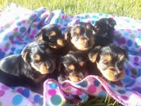 ADORABLE YORKIE PUPPIES !! 5 GIRLS & & 1 KID! Born