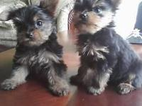 I have two man Yorkshire terrier puppies birthed on
