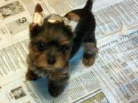 Yorkie young puppies, two males and a lady. Will