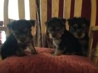 I have 5 Yorkie Puppies that will be all set for there