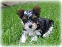 I have 4 lovable parti yorkie young puppies available.
