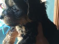 have a beautiful little 7 week old male Yorkie that
