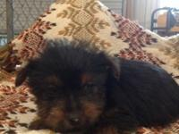 7 week old CKC reg. Yorkie puppies. Tails have actually
