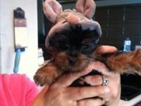 2 Adorable Yorkie young puppies. 1 male and 1 lady,