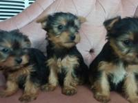 Purebred Yorkie Puppies: We have 1 male and 3 ladies.