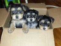 Pure type yorkie puppies offered today for sale. I have