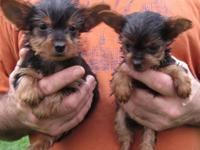 9 weeks old aca registered yorkie puppies up to date on