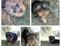 Yorkie Puppies 10 weeks old. born upon December 1st and