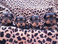 Hi. I have four adorable Yorkies puppies up. They will