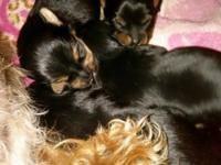 I have 3 male yorkie puppies that will be ready April