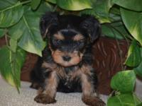 We have four sweet baby yorkies for sale. I am with