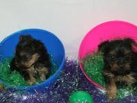Yorkie puppies 8 weeks old, small, quality, shots and