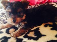 Yorkie puppies beautiful thick coats Pre spoiled non