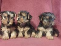 Yorkies~ very affectionate and a loyal breed.. Amazing