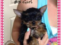 3 yorkie puppies, 2 females and 1 male, ACA registered,