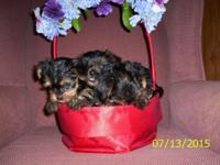 3- CKC toy yorkie puppies 2 boys 400 and 1 girl 500.