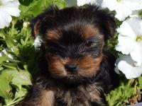 Yorkie puppies.  $800 - 1000. They are