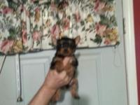Yorkshire Terriers Male and Female Available. Will stay