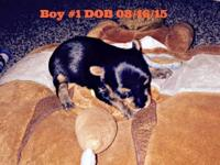 AKC 2 male yorkie puppies. Born Aug 17th and will be