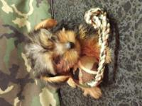 Beautiful purebred Yorkie puppies, 2 Males $250 3