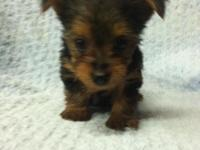 Ckc registered Yorkie puppies very sweet and are ready