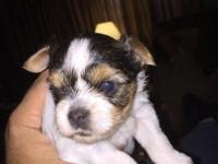 Parti Yorkies- CKC registered-Male and female, born