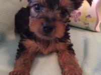 AKC Yorkshire Terrier Puppies. 4 males. Tails docked,