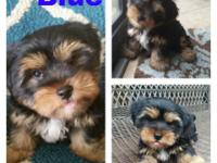 Adorable Yorkie Puppies ready for their new home. They