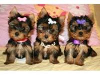 Our Yorkies have got all shots, have excellent
