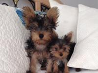 These are the AKC Yorkshire Terriers you have actually