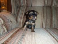 HI WE HAVE 3 CKC REG YORKIES PUPPIES 2 GIRLS AND 1 BOY