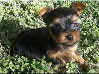 Yorkie Puppies are finally big enough to leave and