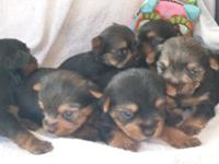 Yorkie Puppies For Christmas! Gorgeous and oh so sweet