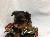 100% purebred Yorkie puppies available. CKC