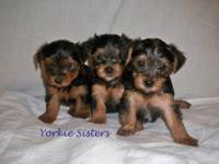 We have three female yorkies 8 weeks old (as of