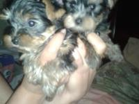 Super charming Puerebred yorkie new puppies for