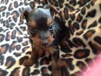 I have 4 male yorkie young puppies for sale:) if your